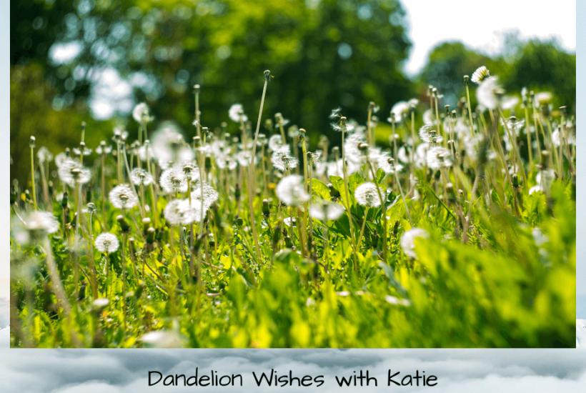 A field on dandelions
