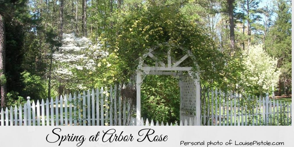 A white picket fence and arbor covered in Lady Banks roses and flanked by dogwood trees in bloom. Spring at Arbor Rose.