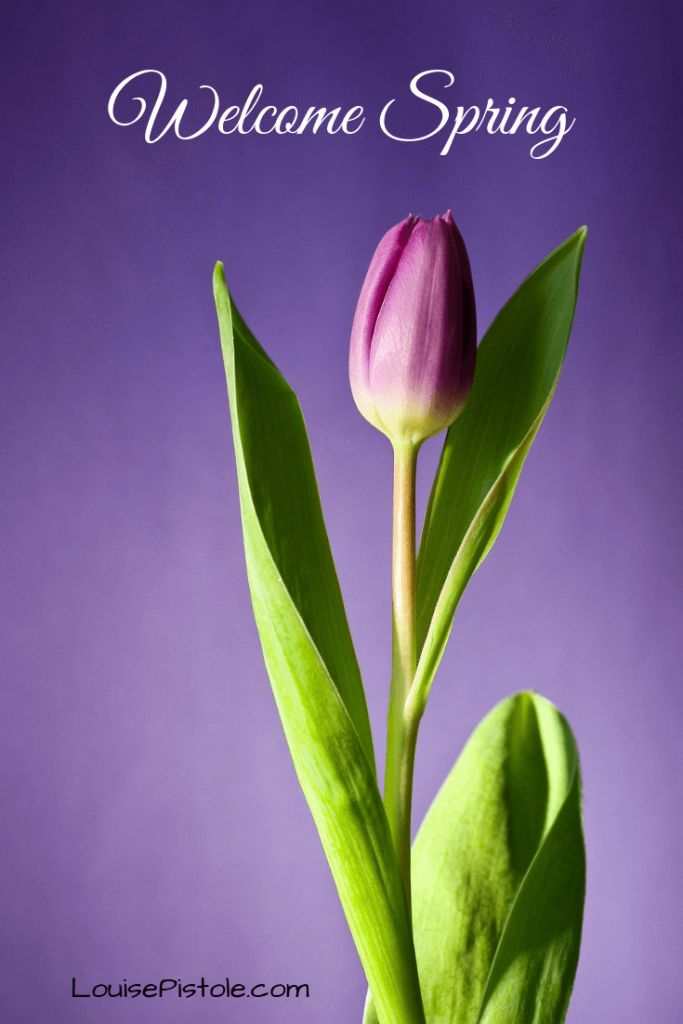 A single pink tulip on a purple background. Welcome Spring!