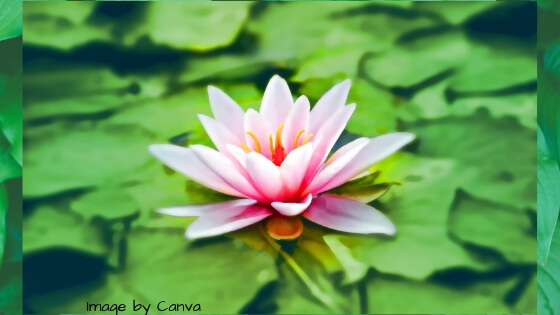 A pink lily on a green lily pad